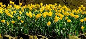 daffodils-1281788_1280